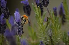 Recolectando (Ordisi fotografía) Tags: abeja lavanda ordisi miel