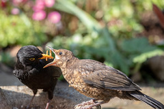 Open Wide! (Linda Martin Photography) Tags: garden dorset wildlife feeding turdusmerula bird juvenile ferndown uk blackbird coth specanimal alittlebeauty naturethroughthelens coth5 ngc