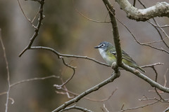 5960 (Eric Wengert Photography) Tags: vireo vireosolitarius bird blueheadedvireo passerine songbird