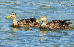 Life Bird: Mottled Duck! (Ruby 2417) Tags: mottled duck bird wildlife nature rare rarity life lifer waterfowl south padre island texas coast beach bay marsh