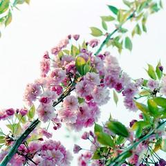 Kirschblüten 2019 (Turikan) Tags: hasselblad 500cm carl zeiss 80mm lomography 800 cn sakura cherry blossoms kirschblüten frühling garten