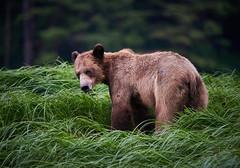 Khutz bear grazing 2019_703 (Archie Richardson) Tags: khutzemateen grizzlybear cub eagle 2018