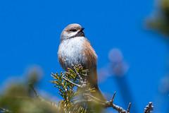 Boreal Chickadee , Winterland, Burin Peninsula (frank.king2014) Tags: borealchickadee winterland newfoundlandandlabrador canada