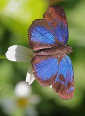 Brilliant-Blue Skipper (peterkelly) Tags: digital canon 6d gadventures mayandiscovery northamerica mexico chiapas palenquenationalpark blue butterfly flower brilliantblueskipper pachesloxus