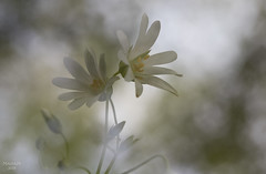Double vision (eMMa_bOOm) Tags: stellariaholostea greaterstitchworth grotemuur flower macro doubleexposure bokeh light nature natural hues dreamy workshop outside colours greens whites petals stem star spring blooming