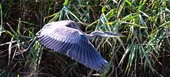 FULL FLIGHT, ACA PHOTO (alexanderrmarkovic) Tags: fullflight acaphoto blueheron heron scarboroughblufferspark lakeontario ontario toronto canada