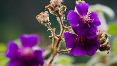 (AAcerbo) Tags: goldengatepark sanfrancisco california flower bokeh dof purple nature