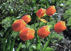 Seven Sisters (Anne Marie Clarke) Tags: tulips orange seven bending windy garden blossoms blooms