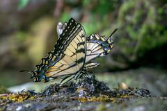 Two Tiger Swallowtails (agasfer) Tags: 2019 southcarolina devilsforkstatepark lake jocassee sony a6000 sonye3556pz1650oss butterflies