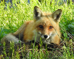 Red Fox (annette.allor) Tags: wildlife nature vulpes red fox
