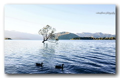 A couple in one evening. (natureflower photography) Tags: couple evening lake wanaka otago newzealand softlight mountains iconic point ducks trees blue wanakamount aspiring rd willow thatwanakatree