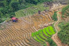_Y2U9784.0617.QL4H.Hua Bum.Mường Tè.Lai Châu (hoanglongphoto) Tags: asia asian vietnam northvietnam northwestvietnam landscape scenery vietnamlandscape vietnamscenery terraces terracedfields terracedfieldsinvietnam hillside transplantingseason canon canoneos1dx tâybắc laichâu mườngtè huabum ql4h phongcảnh ruộngbậcthang phongcảnhlaichâu ruộngbậcthanglaichâu đổnước mùacấy sườnđồi canonef70200mmf28lisiiusm northernvietnam curve abstract đườngcong trừutượng