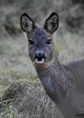 Rose Deer (Capreolus capreolus) (strongie471) Tags: brown roedeer scotland lochinsh 14extender sigmalens150600mm nikond5500 capreoluscapreolus