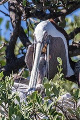 Brown Pelican Feeding Its Chick (dbadair) Tags: outdoor nature wildlife 7dm2 7d ii ef100400mm canon florida bird