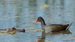 Showdown (Earl Reinink) Tags: bird animal gallinule commongallinule alligator water lake swamp nature outdoors wildlife earlreinink udutrahdea