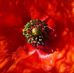 EL COR DE LA ROSELLA (Joan Biarnés) Tags: rosella amapola macro flor plademartís pladelestany girona panasonicfz1000 314