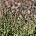mat muhly, Muhlenbergia richardsonis