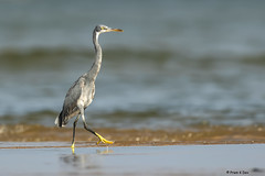# Western Reef Egret..................... (Dr Prem K Dev) Tags: western white wild water wader wonderful wings marsh reef red egret elegant blue bird beautiful bokeh bg nature predator pleasant pulicat pose chennai composition colourful avian attractive india feeding fishing feathers hunting action golden glint gorgeous sand brown black yellow