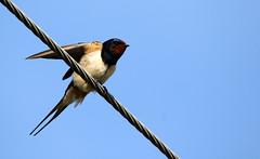 Swallow. (Chris Kilpatrick) Tags: chris canon canon7dmk2 sigma150mm600mm sigma outdoor wildlife nature animal bird swallow signsofspring springwatch isleofman