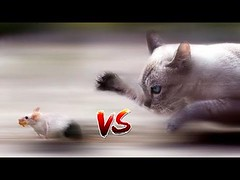 Funny Cats and Mice Compilation Video (videosloving) Tags: cats mice mouse funnyvideo funny funniest fails funnyfail funnycats justforfun justforlaugh viralvideo video videosloving viral compilation comedy amazing trending trynottolaugh latest laughter new animalslove animals