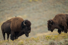 Haut perchoir (Samuel Raison) Tags: bisons buffalos buffalo bison wildlife nature yellowstone yellowstonenationalpark yellowstonewildlife nikon nikond800 nikon4600mmafsgvr