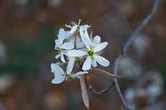 Amelanchier canadensis (douneika) Tags: amelanchier canadensis rosaceae taxonomy:family=rosaceae taxonomy:binomial=amelanchiercanadensis