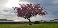 Cherry Blossom Garlieston 27 4 2019 (Hednesford8) Tags: garlieston cherry blossom dumfries galloway