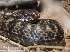 Adder-12 (Neil Phillips) Tags: reptilia vipera viperaberus adder berus reptile snake venomous viper