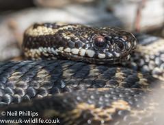 Adder-14 (Neil Phillips) Tags: reptilia vipera viperaberus adder berus reptile snake venomous viper