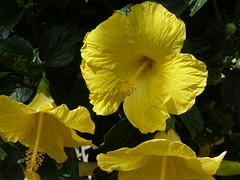 A New Day (npbiffar) Tags: outdoor garden plant hibiscus yellow closeup macro nature npbiffar fz200 lumix ngc coth5