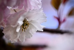 _DSC7931 cherry blossom (christinachui79) Tags: landscapephotography landscape naturephotography nature closeupphotography pastelcolours flickrnature cherryblossoms springblossoms spring springtime may blossoms blossom flower flowers white pink pastel beautiful bokeh closeup macro dof nikon d750 sigma