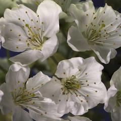 Cherry-Blossom-Art - Kirsch-Blüten-Kunst (ralfkai41) Tags: makro plant spring kirsche macro cherry blühen nature flowers blüten frühling blooming blossoms pflanzen natur blumen