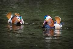 Mandarin duck (Pawel Skokowski) Tags: animal avian background beak beautiful bird portrait fauna birds closeup birdwatching feather feathers ornithology outdoors wild wildlife mandarin duck aix galericulata uk