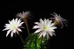 DSC_1162 (Jesus DTT) Tags: echinopsis oxygona multiplex cactus flor timelapse nikon d7200 sigma1750f28