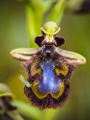 Ophrys speculum 2 (enekopy) Tags: ophrys speculum orquidea macro alava