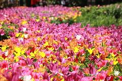 Tulipani (Luciana.Luciana) Tags: tulipani rosa magenta fioriprimavera fiori primavera spring frühling printemps natura flora floreale giallo bianco rosso fruehling εαρινό الربيع 春天 वसंत