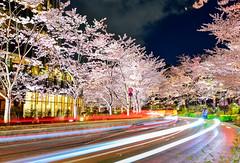 櫻花道(DSC_0706) (nans0410(busy)) Tags: japan tokyo spring cherry sakura lighting cartrack outdoors ろっぽんぎ roppongi minato 日本 東京 東京都港區 六本木 春天 櫻花 夜櫻 車軌 東京ミッドタウン tokyomidtown