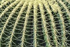 Spiky Thornes (dietmar-schwanitz) Tags: kaktus cactus echinocactusgrusonii goldkugelkakts schwiegermutterstuhl kakteengewächse cactaceae hermanngruson göttingen botanischergarten alterbotanischergarten botanicalgarden pflanzen plants stacheln stings dornen thornes niedersachsen lowersaxony deutschland germany botanik botanic natur symmetrie symmetry nikon nikond750 nikonafsnikkor24120mmf40ged lightroom colorefex nikcollection reise travel trip reisefotografie travelphotography freizeit vacation flickr dietmarschwanitz