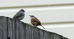 Being Neighborly (Kaptured by Kala) Tags: thryothorusludovicianus carolinawren wren garlandtexas outsidemywindow juncohyemalis darkeyedjunco junco fence