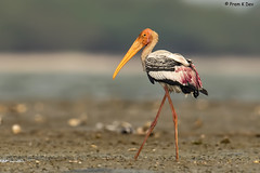 # Painted Stork............. (Dr Prem K Dev) Tags: painted plumage pulicat pleasing pose stork sharp breeding bird bokeh bg wings wild water wonderful painting colourful composition crane white pink rosy orange yellow black red green gorgeous groung brown sand shells sky blue nature chennai india feathers eye glint