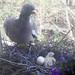 Ringeltaube mit Küken und Ei