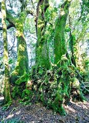 Antarctic Beech (simonmgc) Tags: antarctic beech gondwana nothofagusmoorei springbrook tree