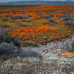 Cream Cups, Poppies, Goldfields (srjarratt) Tags: 31415827007 toyo omega view 45e sony a7 nikon nikkor f56 150mm antelope valley california poppy reserve super bloom 2019 cream cups goldfields panoramastitcher