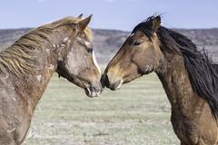 Stallions Nose to Nose (raineys) Tags: wildmustangs horses stallions nature wildlife california specanimal