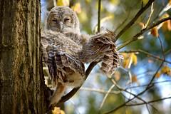 Owl (Lebanowski) Tags: owl bird nature forrest animals birds