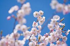 Cherry Blossoms (hll816) Tags: cherryblossom cherry flowers sky bluesky pink spring tree blue dof depthoffield white blossoms closeup
