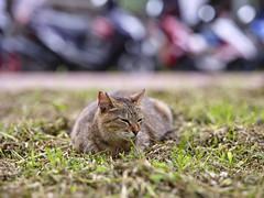 GFX50S__DSF4151_C1 (Bazoka+Cynthia) Tags: cat lori 小婆 新北市 猴硐 瑞芳區 貓 阿偉