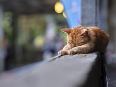 GFX50S__DSF4113_C1 (Bazoka+Cynthia) Tags: cat lori 小婆 新北市 猴硐 瑞芳區 貓 阿偉