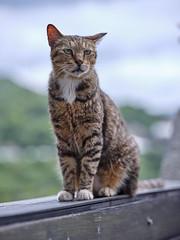 GFX50S__DSF4112_C1 (Bazoka+Cynthia) Tags: cat lori 小婆 新北市 猴硐 瑞芳區 貓 阿偉