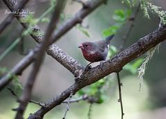 Firefinch  Brown (michael heyns) Tags: brownfirefinch waxbillsmuniasandallies bird estrildidae lagonostictanitidula